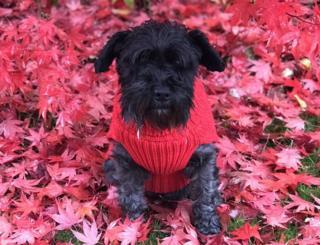 Scottie dog in a red jumper