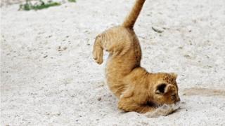 चेक गणराज्य के दूव्र क्रलोव चिड़ियाघर में एक नवजात शेर का बच्चा अपने बाड़े में कूदता हुआ कुछ यूं कैमरे में कैद हुआ.