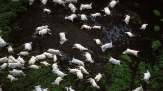 Гибель животных в Камеруне