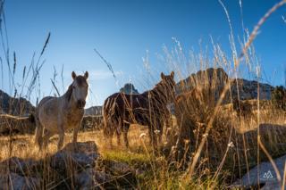 босански брдски коњ на прењу