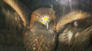 Golden eagle on window sill in Ton Pentre