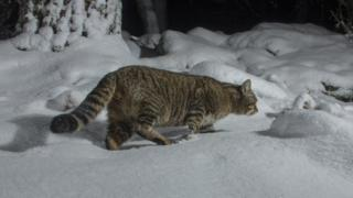 Wildcat photographed on camera trap in Cairngorms