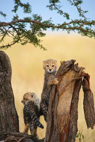 A cheetah cub clutching a tree trunk