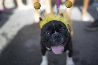 Dog at Brazil's 4-footed Carnival