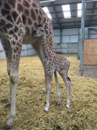 Жирафы-кордофаны находятся на грани исчезновения