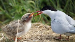 An Arctic tern feeding a chick