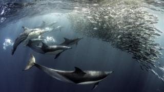 dolphins feeding frenzy