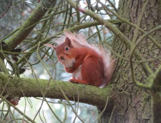 A Red Squirrel on a branch