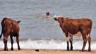 Cows watching someone swim