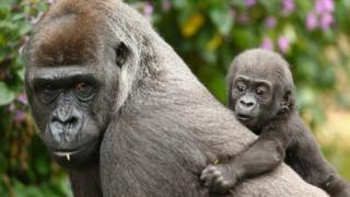 Baby gorilla on back of mother