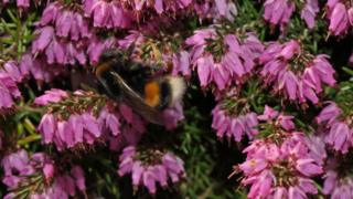 Bumblebee foraging on heather