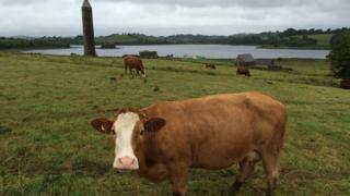 Cattle grazing on Devenish