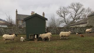 Lamb in a henhouse
