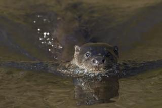 Otter swimming in river