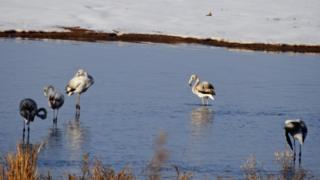 Кыргызстанга келгин куштардын арасында экзотикалык фламингону да көрүүгө болот.