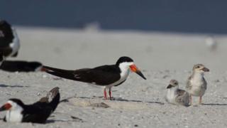 the least tern