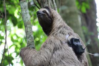 sloth wearing tag