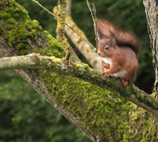A red squirrel in a tree