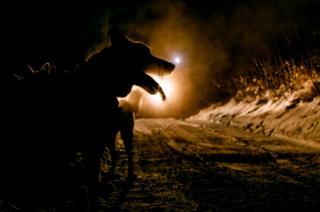 A husky by night