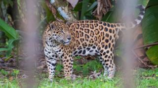Jaguar in zoo in Guyana