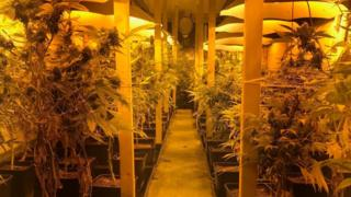 Cannabis plants in lorry container