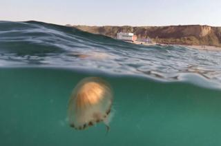 Jellyfish off the coast at Sheringham in Norfolk