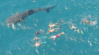 Whale shark surrounded by people swimming