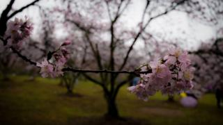 People walk among the cherry blossoms at a park