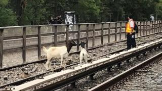 Goats seen on a New York City subway track on 20 August 2018