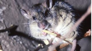 Rats spread a variety of diseases, including Lassa fever