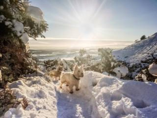 Two West Highland Terriers in the Ochils.