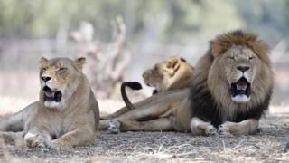 Nam Phi có một lượng sư tử được nuôi nhốt