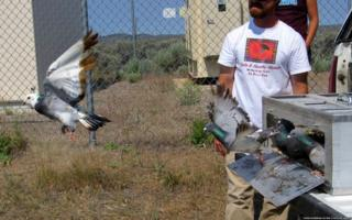 'Oiled and unoiled' pigeons were released from the same site for test flights