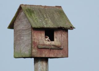 Egyptian goose in a kestrel box