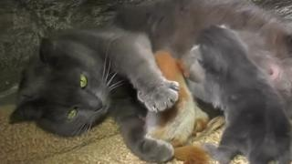 Gata cuida de esquilo-bebê