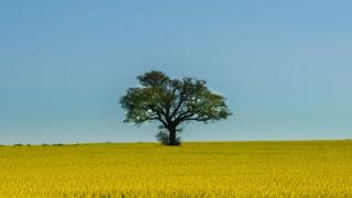 Tree surrounded by rapeseed