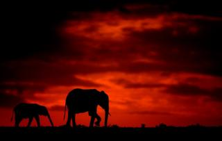 Silhouette photo of elephants