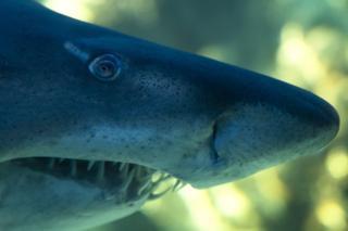 A close shot of a shark's head.