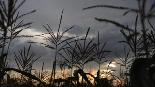 Maize stalks are pictured in a field near the town of Boricha, in southern Ethiopia, on August 30, 2008