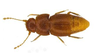 N. gretae beetle