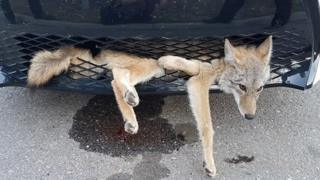 A coyote stuck in the front grill of a car