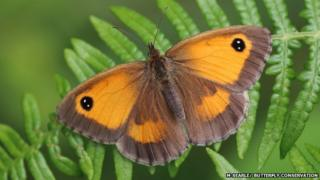 Gatekeeper (c) Mark Searle/Butterfly Conservation