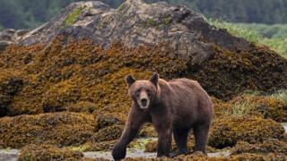 Grizzly Bear, northern British Columbia, Canada