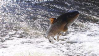 Sewin or sea trout