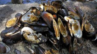 Illegally poached pearl mussels