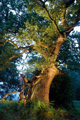 Malloch's oak