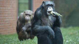 Chimpanzees eating at Twycross Zoo