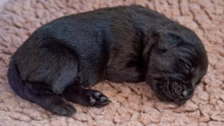 A very young black puppy curled up asleep