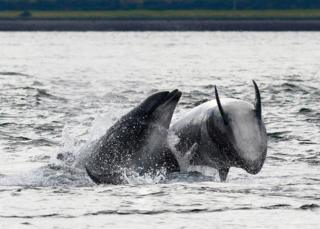 Bottlenose dolphins in Moray Firth