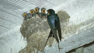 A family of newborn swallows
